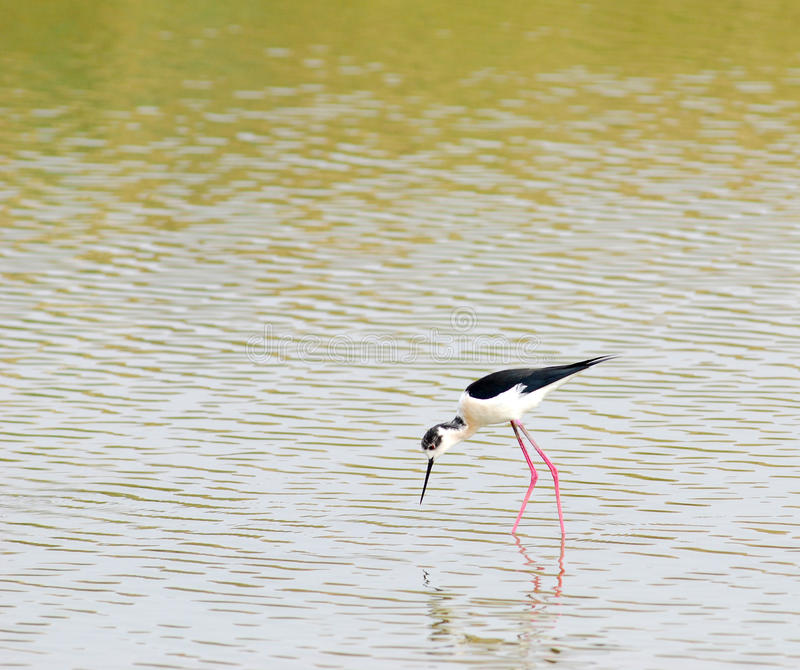Download BLACK-WINGED STILT . Stock Photo - Image: 12775010