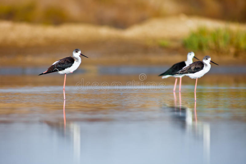 Download Black-Winged Stilt stock photo. Image of water, environment - 21842216