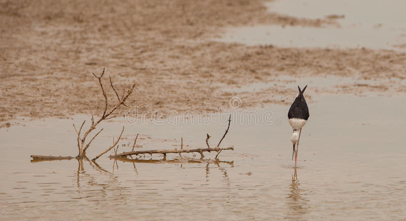 Download Black-winged Stilt stock photo. Image of animal, birds - 27413456