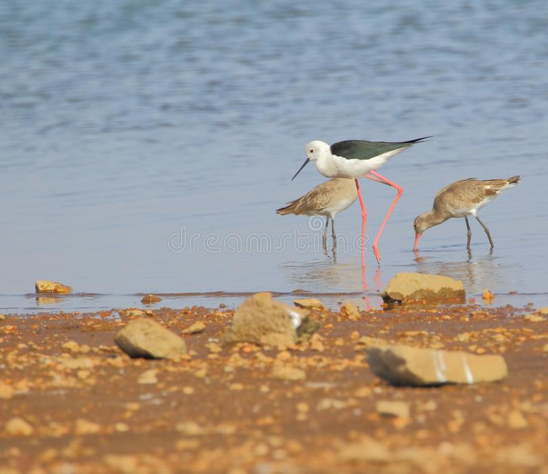 Black winged stilt bird. Searching food with another bird near water of river. bird legs are long and color red. the beak is long and black. the eyes are small stock image