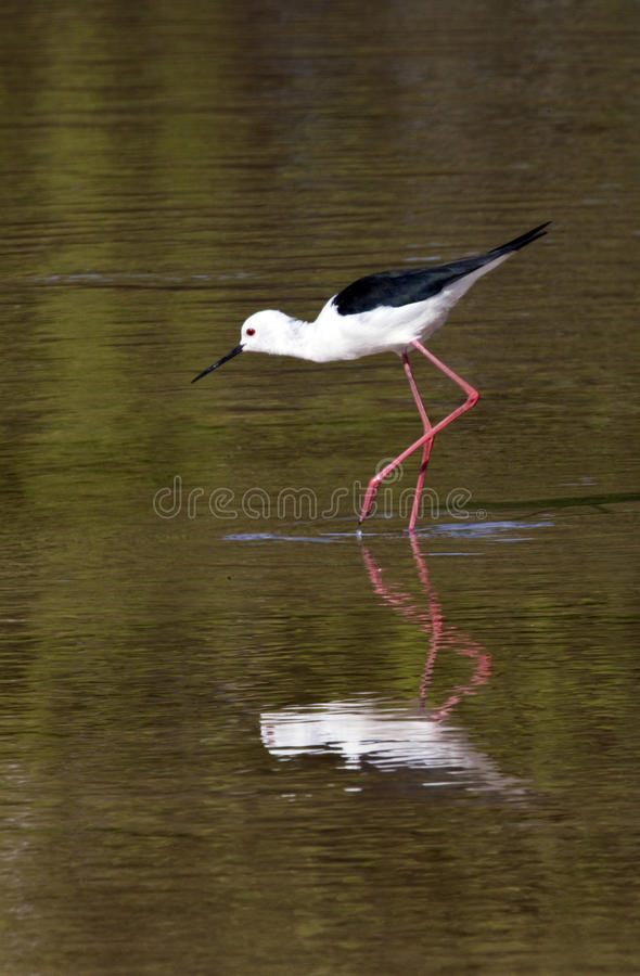 Black-winged Stilt - Botswana stock photography