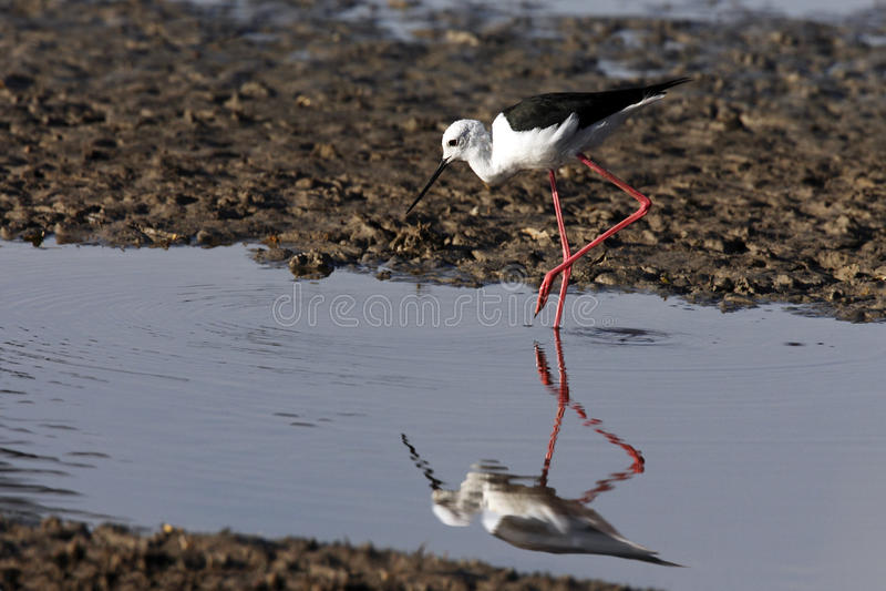 Download Black-winged Stilt - Chobe River - Botswana Stock Photo - Image: 22603472