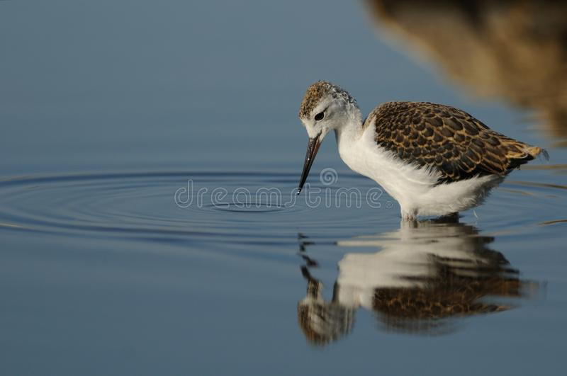 Black-Winged Stilt (Himantopus Himantopus). This is nestling of the black winged stilt. The bird is wading in the water to find something to eat. The adult birds stock photo