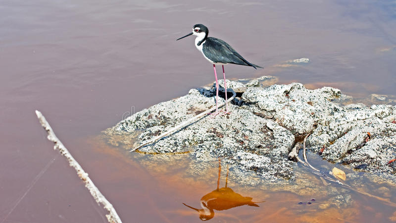 Black-winged Stilt (Himantopus himantopus) royalty free stock images