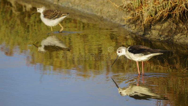 Black-winged Stilt Himantopus himantopus Three Friends Salina Trail Cadiz Bay royalty free stock photos
