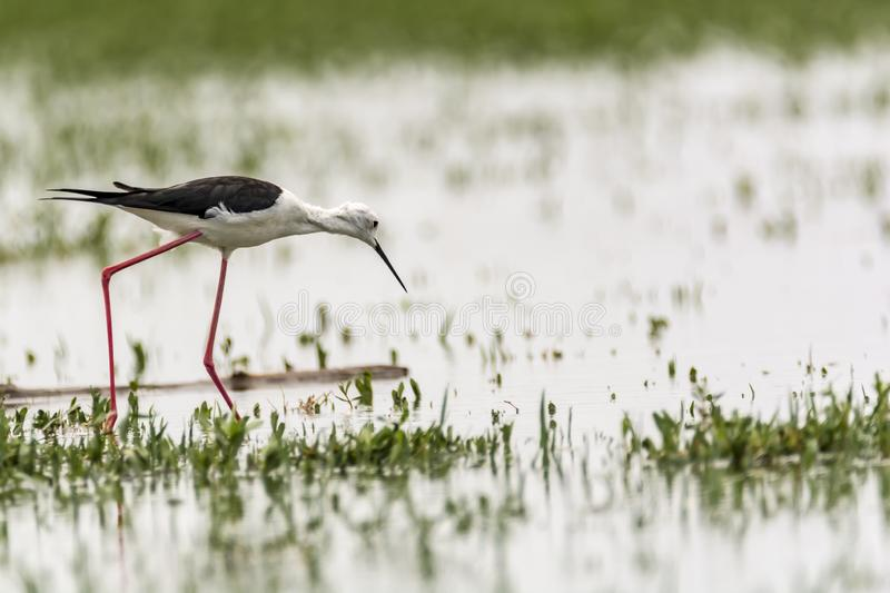 Black-necked Stilt exploring for food. The black-winged stilt Himantopus himantopus is a widely distributed very long-legged wader in the avocet and stilt family royalty free stock photo