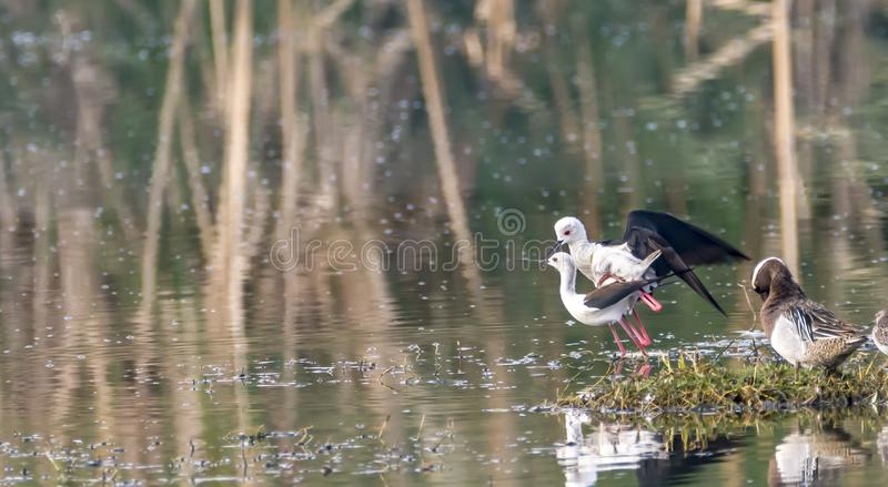 Mating: Himantopus himantopus or Black Winged Stilts. The black-winged stilt Himantopus himantopus is a widely distributed very long-legged wader in the avocet stock photography