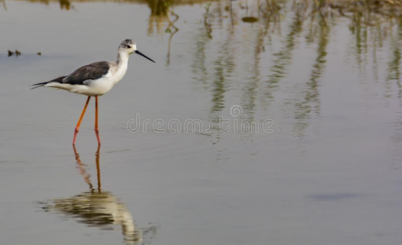Himantopus himantopus of Black Winged Stilt. The black-winged stilt Himantopus himantopus is a widely distributed very long-legged wader in the avocet and stilt royalty free stock image