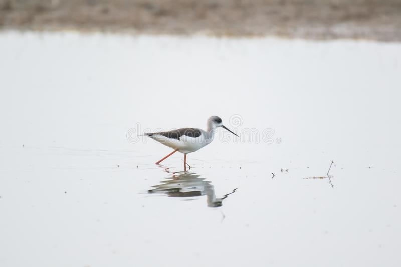 Black winged Stilt in the Lake royalty free stock photo