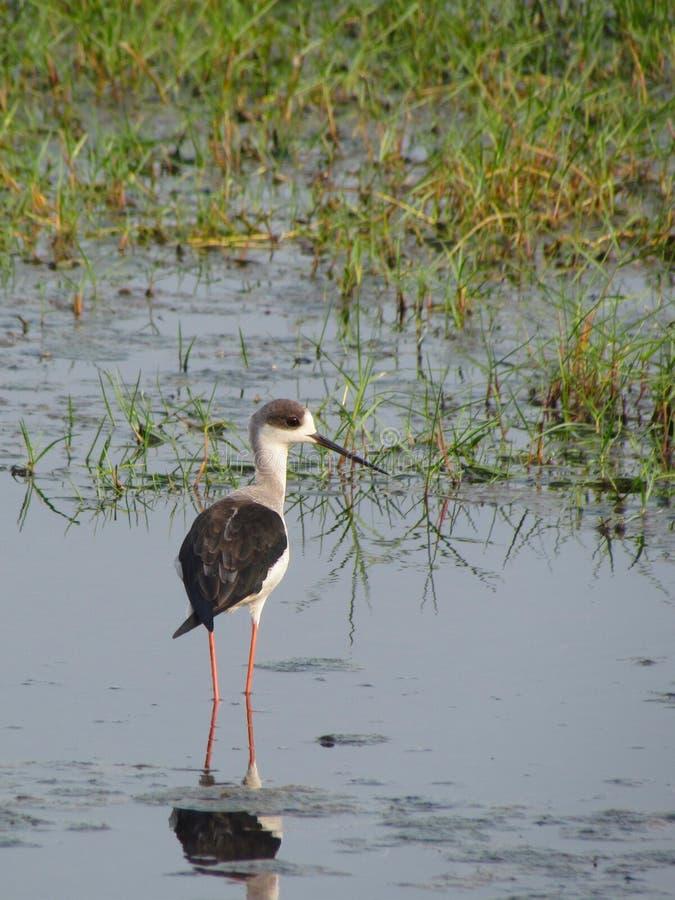 Black winged stilt, water bird habitat royalty free stock photo