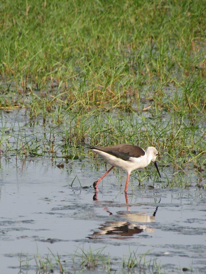 Water bird habitat royalty free stock image