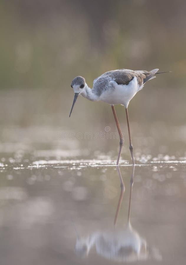 Black-winged Stilt long legged water bird walking in the lake at royalty free stock images