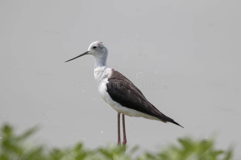Black winged stilt royalty free stock photography