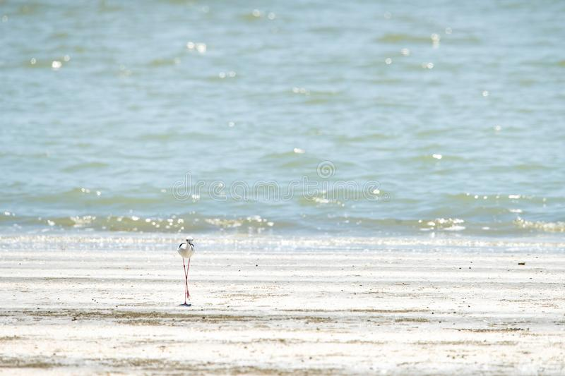 Black-winged stilt walking on the beach royalty free stock images