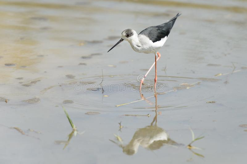 Black winged stilt walking in water royalty free stock photography