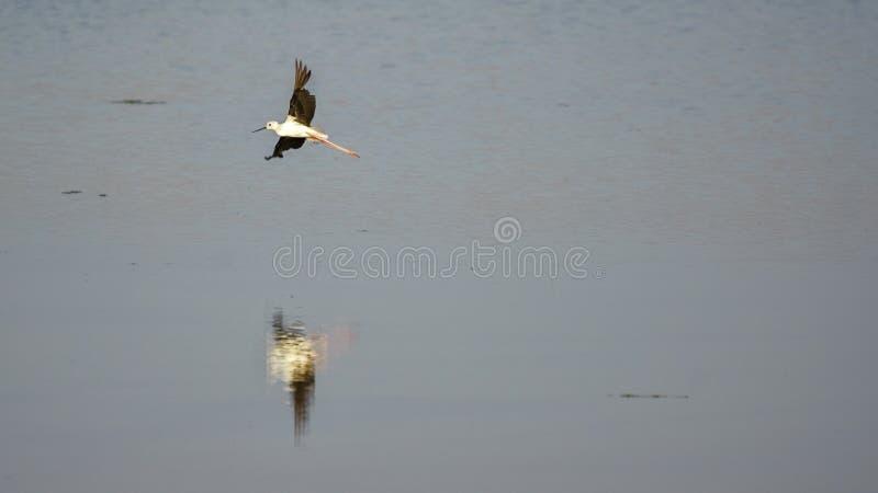 Black-WInged Taking Off the Marshland stock photo