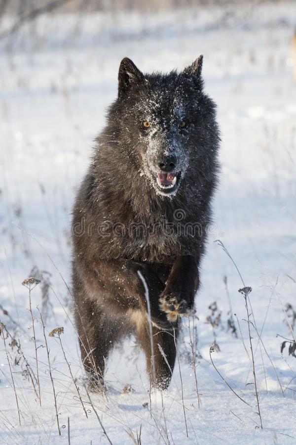 Black wolf with bright eyes royalty free stock photos