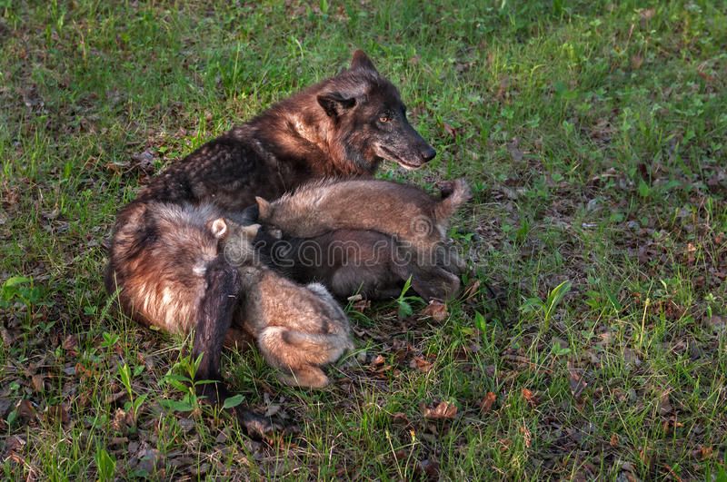 Black Wolf (Canis Lupus) Feeds Pups Stock Photo