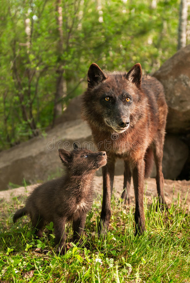 Black Wolf (Canis lupus) Pup Looks Up at Parent royalty free stock images