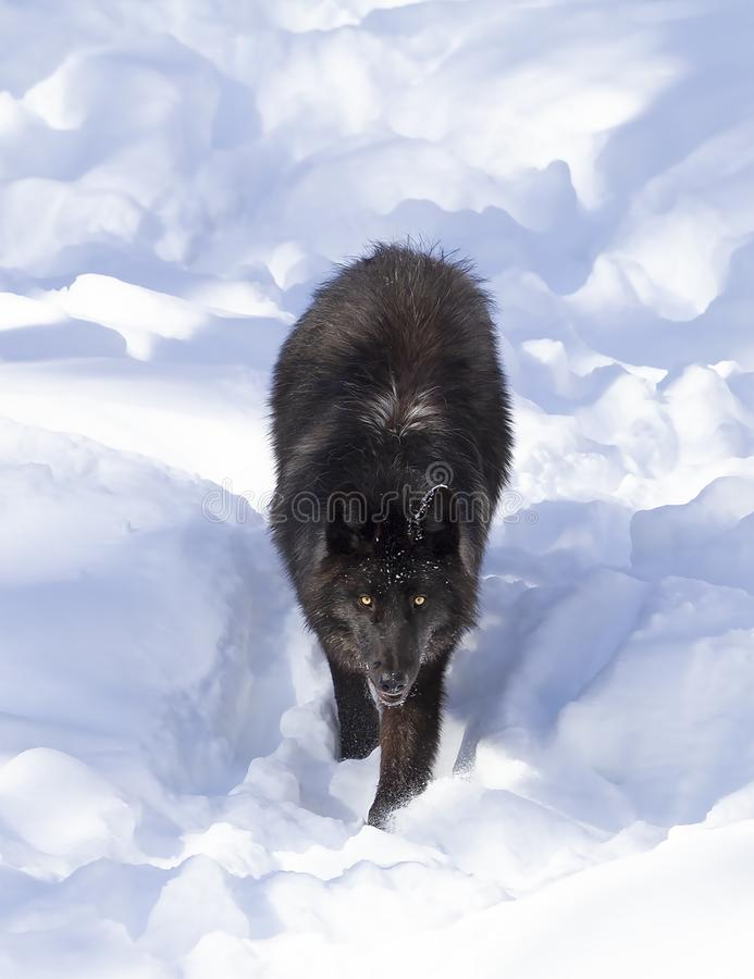 A lone Black wolf (Canis lupus) isolated on white background walking in the winter snow in Canada royalty free stock images