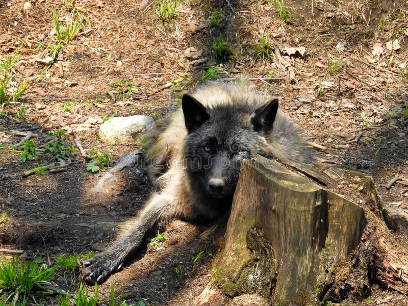Black wolf relaxing on the ground. In the woods royalty free stock images