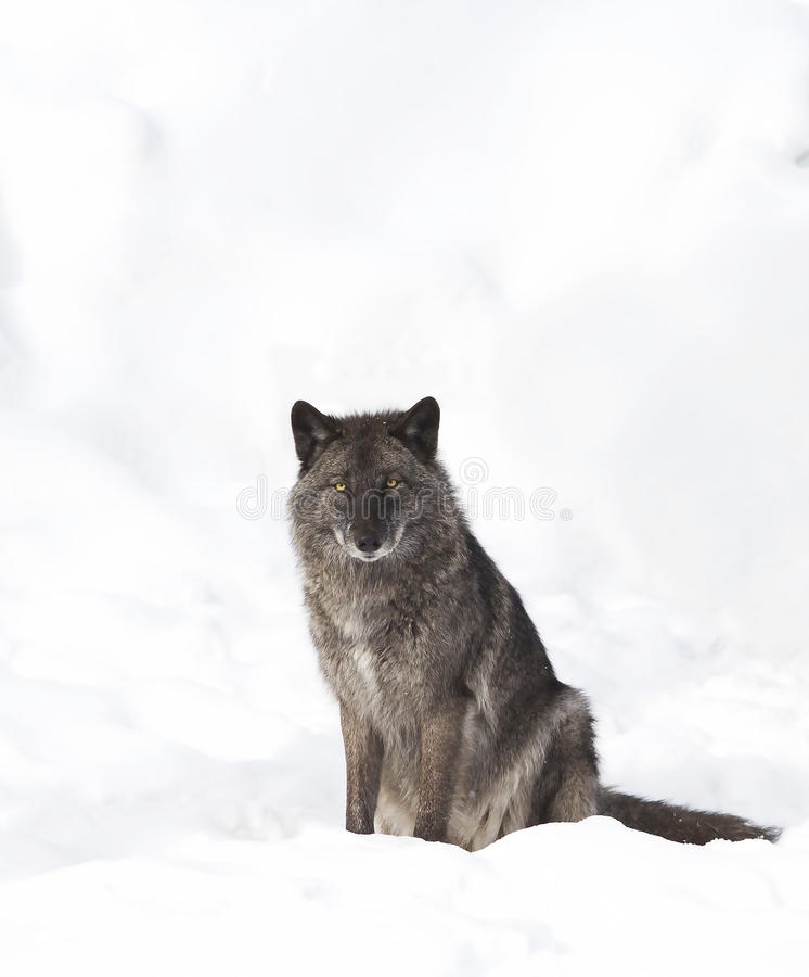Black wolf isolated against a white background sitting in the winter snow in Canada royalty free stock image