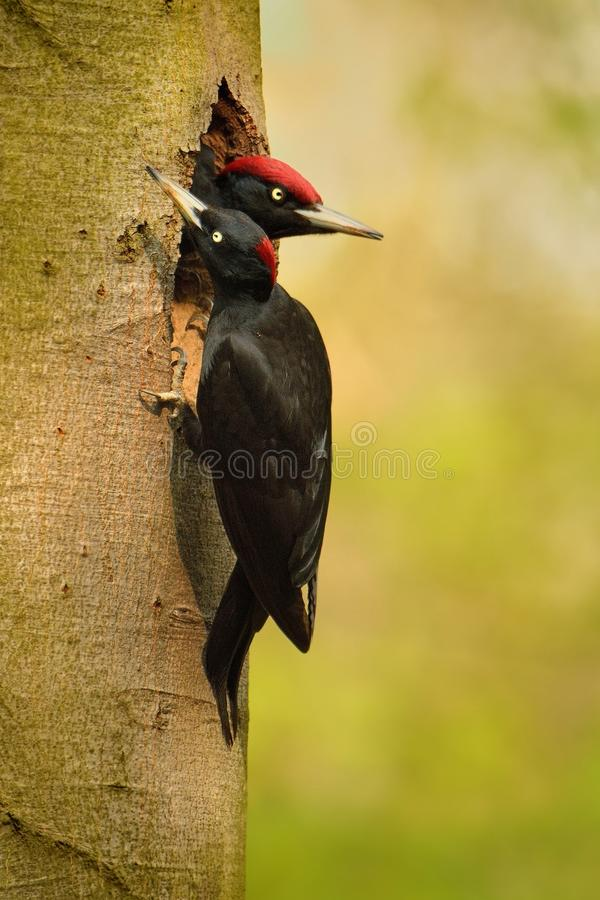 Black Woodpecker datel cerny - Dryocopus martius - Black Woodpecker stock images