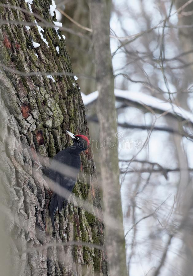 Black woodpecker looking for food on a tree trunk stock images