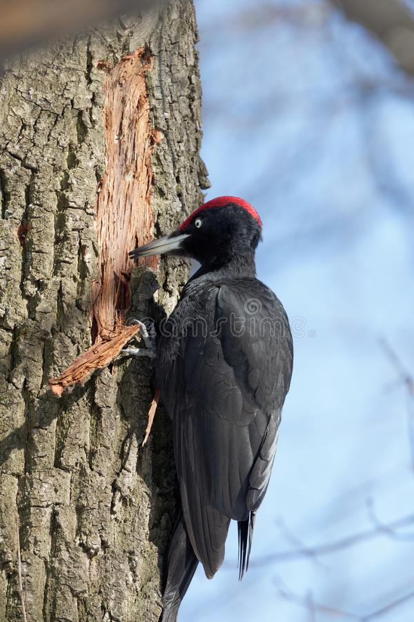 The Black woodpecker is in the park royalty free stock photography