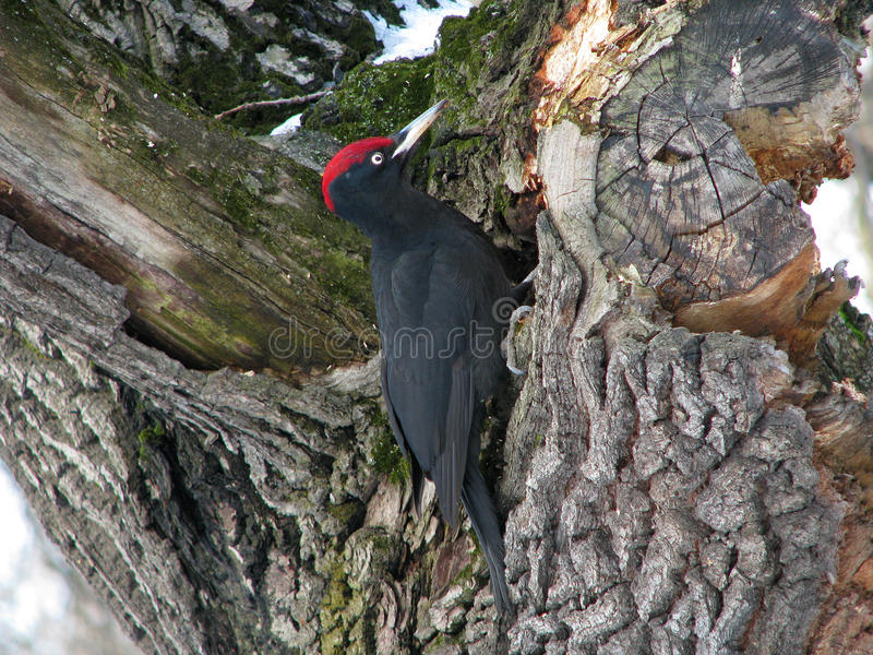 Black woodpecker stock image