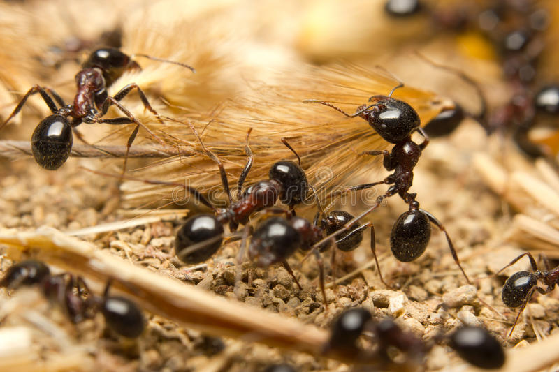 Black worker ants royalty free stock photography