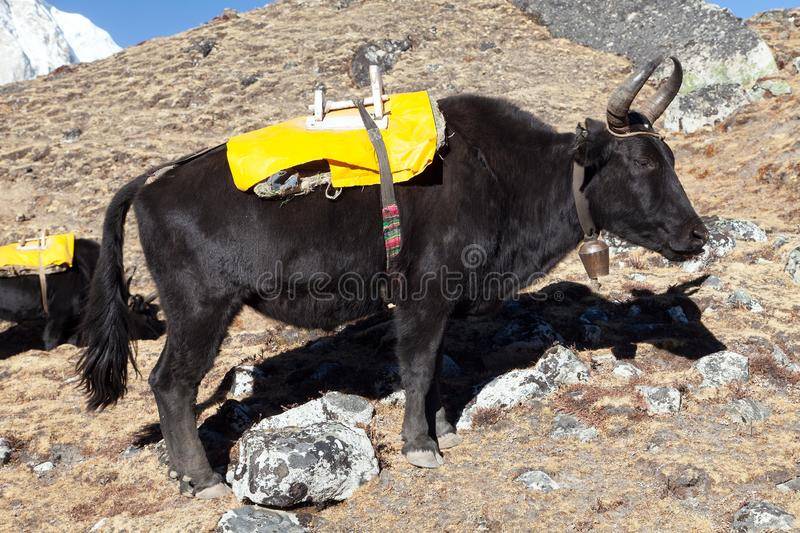 Black yak with yellow saddlery. Black yak on the way to Everest base camp - Nepal royalty free stock photography