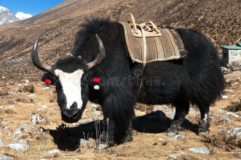 Black yak on the way to Everest base camp - Nepal. Black yak, bos grunniens or bos mutus on the way to Everest base camp - Nepal stock images