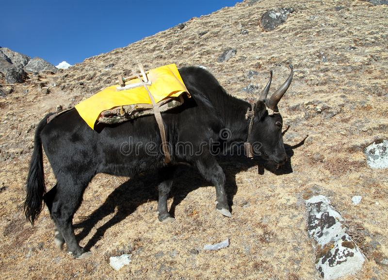 Black yak on the way to Everest base camp - Nepal. Black yak with yellow saddlery on the way to Everest base camp - Nepal stock photos