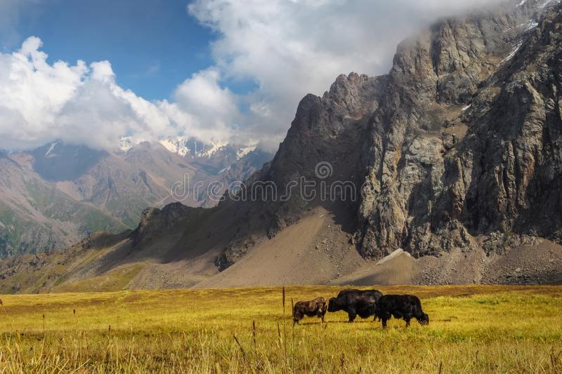 Black yaks graze high in the mountains. Traditional tibetan pet royalty free stock images
