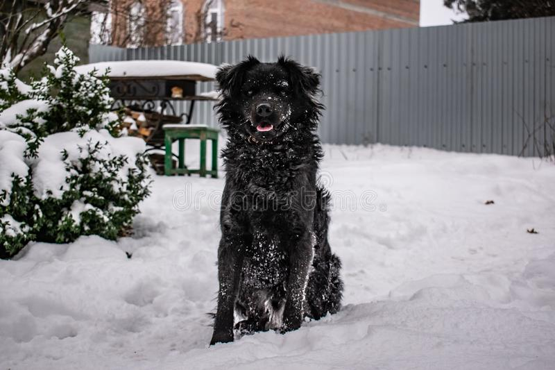 Black yard dog, with shaggy hair, Retriever. Winter, frosty weather and a lot of white snow. royalty free stock photos
