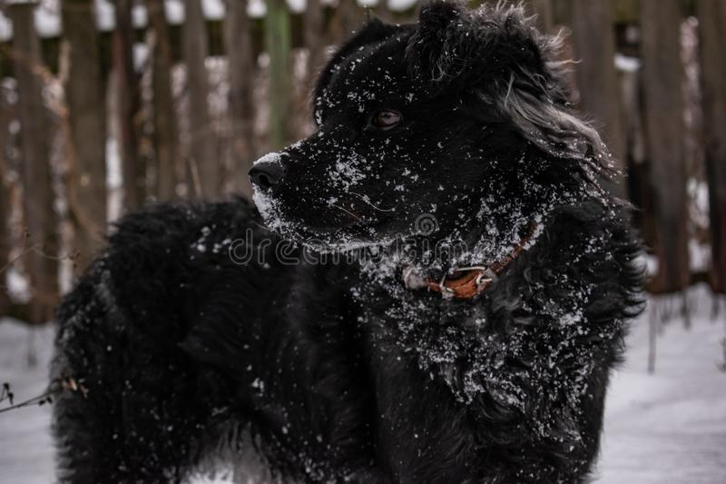 Black yard dog, with shaggy hair, Retriever. Winter, frosty weather and a lot of white snow. stock image