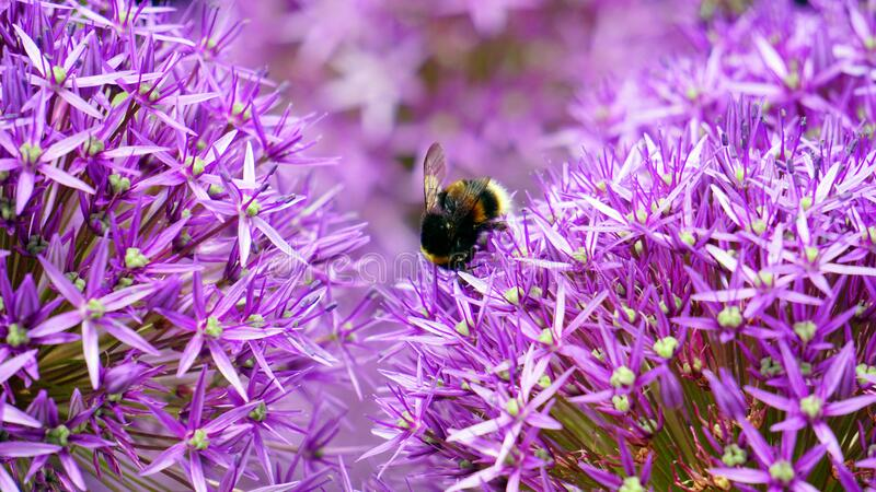 Black and Yellow Bee on Purple and White Flower during Day Time royalty free stock photography