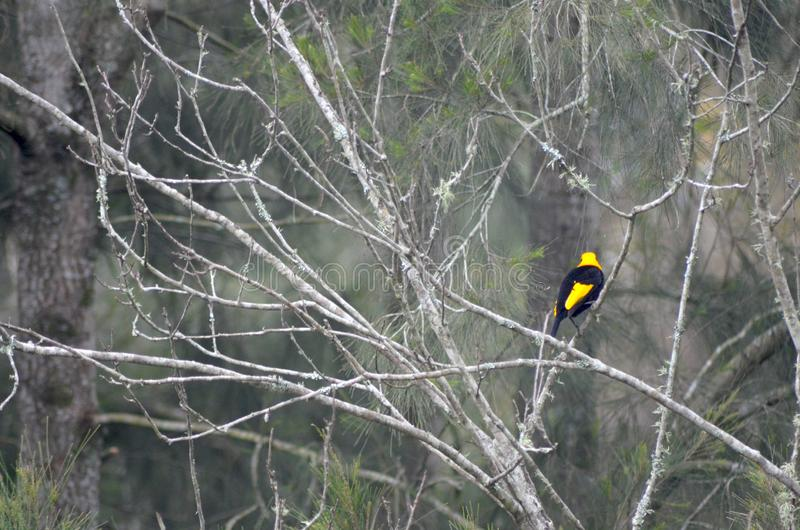 A black and yellow bower bird in a bare tree. A black and yellow male bower bird is vibrant against a a background of gre brnaches and green leaves. He is on a stock photos