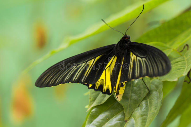 Black-Yellow Butterfly royalty free stock images