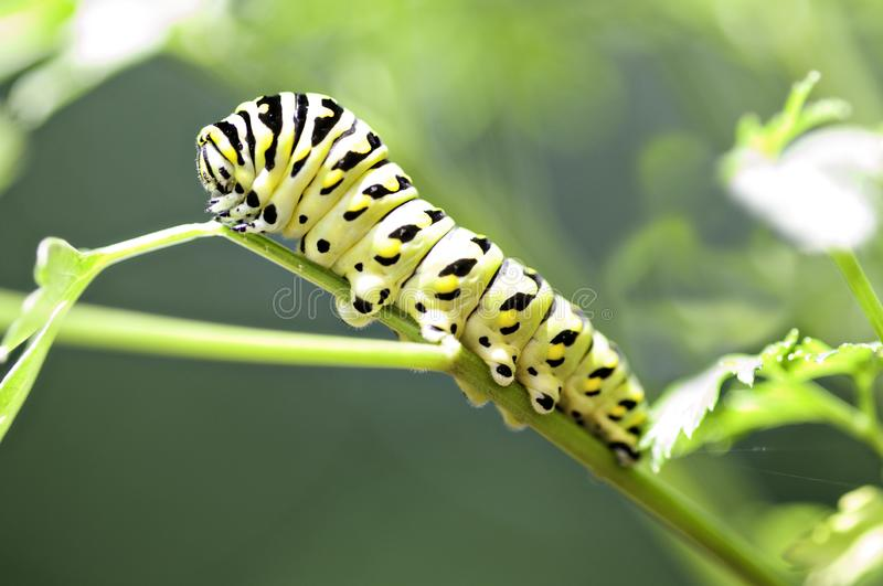 Black and Yellow Caterpillar on a stem. Black and yellow caterpillar on a green stem. Close up image that shows great detail of face and legs royalty free stock photo
