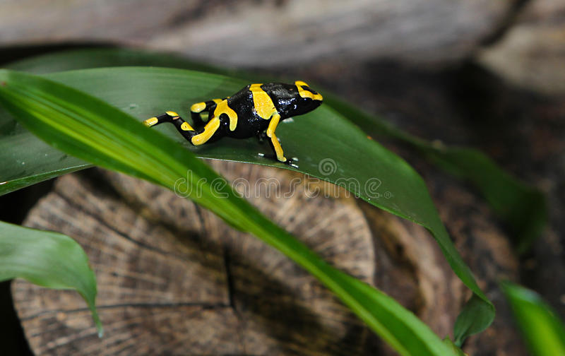 Black & Yellow Dart Frog 2. Black and yellow poisonous Costa Rican dart frog royalty free stock photography