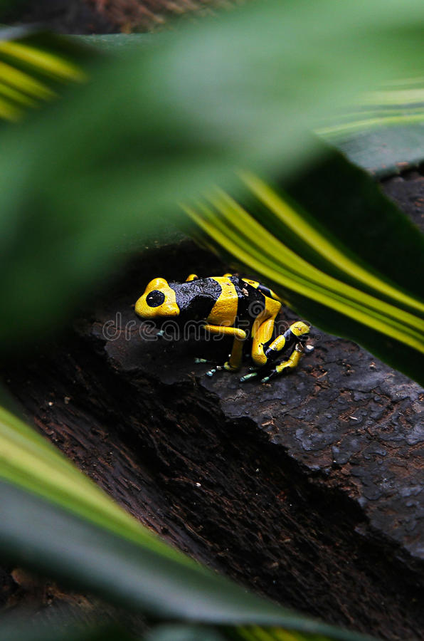 Black & Yellow Dart Frog. Black and yellow poisonous Costa Rican Dart Frog stock photo