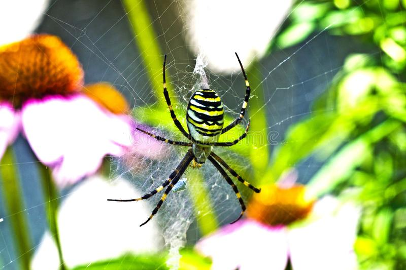 Black and yellow garden spider Argiope aurantia. Known as other names `Writing Spider` or `Banana Spider` or `Corn Spider` on the web in the garden background royalty free stock photography