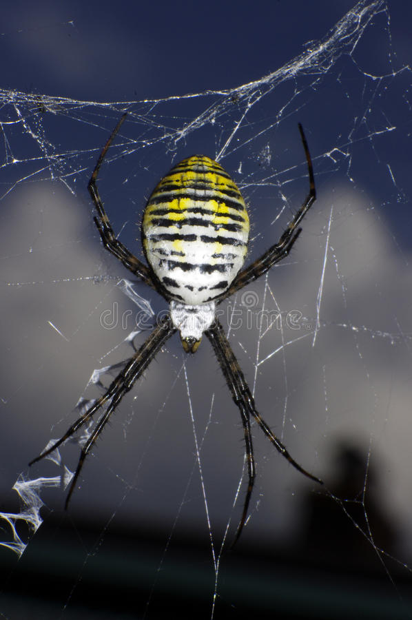Black and yellow garden spider. With zigzag web royalty free stock images