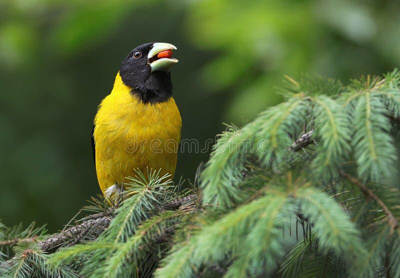 Black-and-yellow grosbeak stock image
