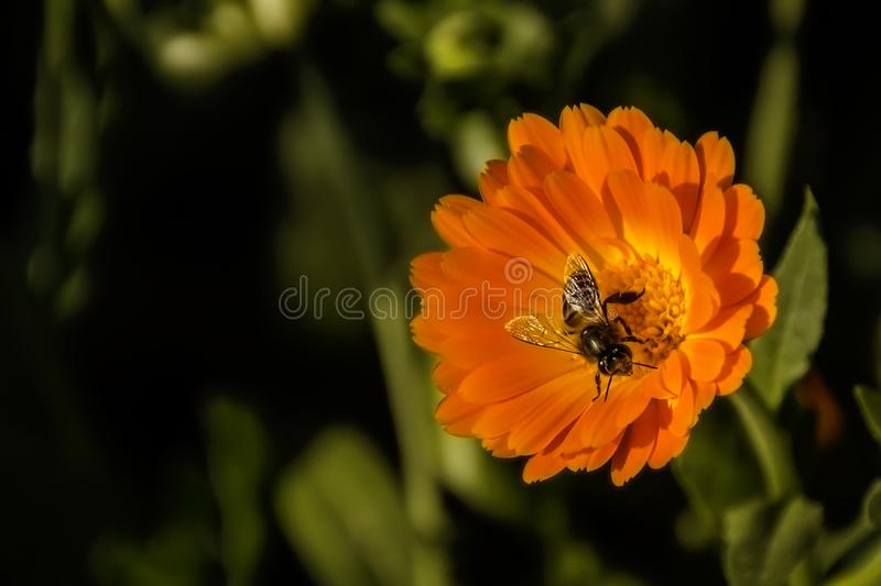 Black and Yellow Honey Bee Perch Orange Petaled Flower stock images