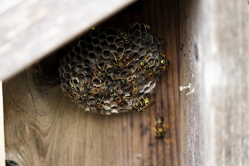 Black And Yellow Hornets Building Hive On Wooden Fence royalty free stock image
