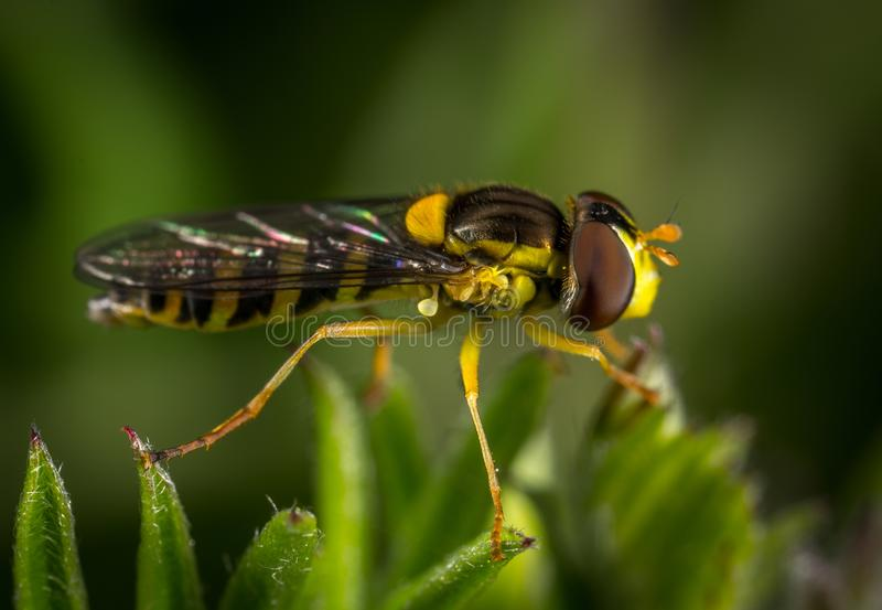 Black And Yellow Insect royalty free stock photo