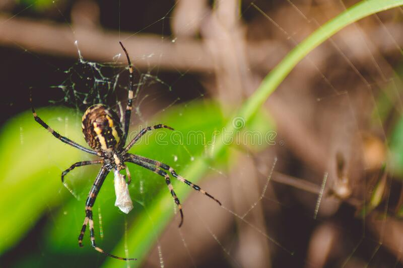 A black-and-yellow live spider crawls through its web. Black with streaks of yellow spider Argiope bruennichi in web mining butterfly.Macro photography, close-up royalty free stock photo